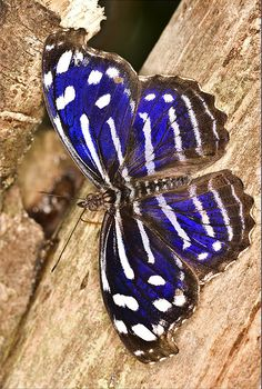 ~~Blue Wave (Myscelia cyaniris) Butterfly - photo by Thys van Balen jr~~ Butterfly Kisses, Butterfly Flowers, Blue Butterfly, Butterfly Wings, Flying Flowers, Butterflies Flying, Beautiful Bugs, Beautiful Butterflies, Moth Caterpillar