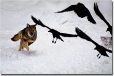 Wolf Chasing Ravens  by Jim Brandenburg