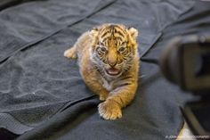 Jacksonville Zoo Announces Sex of New Sumatran Tiger Jacksonville Zoo, Tiger Lady, Tiger Pictures, Mammals, Night Life, Baby Animals, Tiger Cubs, Hummingbirds, Big Cats