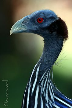Red Eyes--Vulturine Guinea Fowl