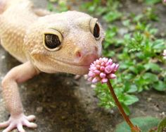 I've realized that leopard geckos look like Disney characters.