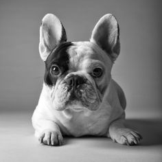 Mannie the Frenchie
