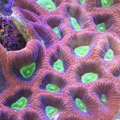It almost glows. ✨✨✨ #nofilter #iphone6 #coral #reeftank #coralreeftank #reeftanksofvine #reef #reefpack #reef2reef #reefcandy #reefersdaily #reefrEVOLution #saltwatertanks #shallowreeftank #aquariums #aquariumphotography #coralreef #coraladdict #reefaholiks #reefjunkie #livetanks #reeflife #instareef #reefgeek #allmymoneygoestocoral #instareef #tankwars #reefpackworldwide #instafish #thetanggang