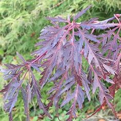 Acer palmatum Dissectum Inaba Shidare is one of the best red foliaged Japanese Maples. Suited to growing in part shade to full sun, it does suffer leaf burn as much as other varieties and does well in containers. Acer Palmatum, Maple Tree, Japanese Maple, Trees And Shrubs, Garden Plants, Christmas 2016, Nurseries, Red, David