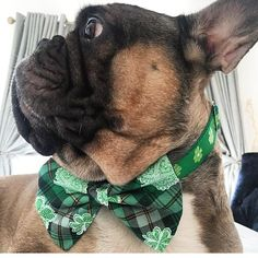 This set is sure to bring you the luck of the Irish. Or at least an extra treat.  . . . #Frenchbulldog #frenchie #frenchiesofig #instafrenchie #frenchielove #frenchbully #doglife #dogoftheday #squishyfacecrew #thefrenchdog #etsy #Dogfashion #pamperedpets #petaccessories #shamrock #stpattysday #stpatricksday #green #bowtieswag #bowtie #dogsofinstgram #dogs #dogsinbowties #dogsofinsta #feelinglucky #lucky #irish #thefrenchdog