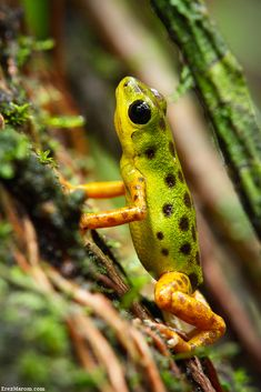 Strawberry Poison Dart Frog - Tree Climbing by Erez Marom