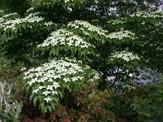 Kinesisk Blomsterkornell (Cornus kousa var. chinensis). Det är ett litet träd med buskigt upprätt växtsätt, kan bli mellan 4-5 m, som härstammar från Kina. Deciduous Trees, Flowering Shrubs, Trees And Shrubs, Shade Garden, Garden Plants, Japanese Plants, Florida, My Secret Garden, Plantation