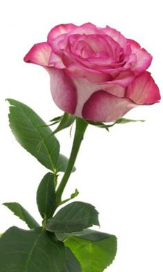 Download 240x400 «Pink Rose» Cell Phone Wallpaper. Category: Flowers