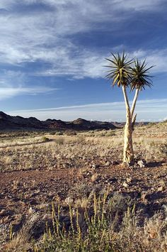 Quiver tree in the South African desert.