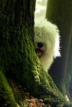 Old English Sheepdog - too cute