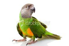 Senegal Parrot - Stock Photo - iStock