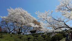 Sakura blossom at Kiyomizu-dera, Kyoto