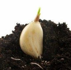 This is one of the best guides to growing garlic in containers that I have found....
