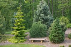 Rich's Foxwillow Pines Nursery, Inc. - Picea orientalis – 'Skylands' Oriental Spruce (the light green one)...