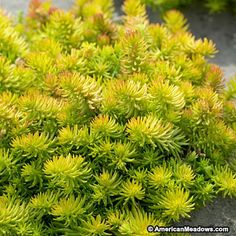 Yellow Sedum Angelina: it was suggested that I replace my dear-eaten hostas with these for similar coloring