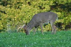 Food Plot Plan for Fall Deer Hunting Season Includes Brassicas, Turnips, Oats and Peas on http://www.deeranddeerhunting.com