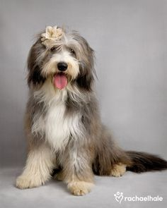 Beardies are so cute and so much fun!!!  Willow (Bearded Collie) - Gracefully poised, bloom in her hair, no other puppy can compare