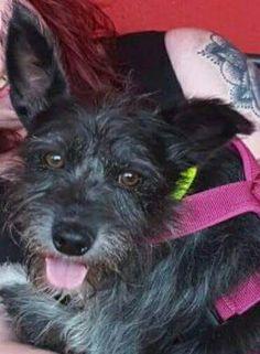 Frechen: Rayo 15 Jahre alter Rüde 40 cm absoluter Familienhund stubenrein leinenführig verträglich