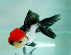 Black and White with Red Cap OH .what a beauty! Comet Goldfish, Fantail Goldfish, Goldfish Aquarium, Goldfish Pond, Goldfish Types, Betta Fish Types, Pretty Fish, Beautiful Fish, Colorful Fish