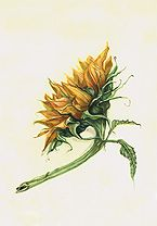Maria Thomas.Sunflower Botanical. Check  out the inscribed version of this on her page. The Calligraphy is beautiful.