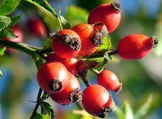 Природа Армении богата лекарственными травами. В состав многих растений, произрастающих там, входит никотиновая кислота, витамины С, Е, D и йод, выводящие из организма соли и шлаки. Специалисты утверждают, что одной из причин долголетия её жителей является применение горных трав в качестве чая и отваров. Они моментально снимают усталость, тем самым взбадривая организм человека. В данной подборке мы собрали пять самых часто используемых растений, из которых готовят чаи, настои и отвары.