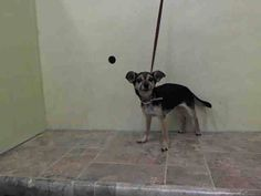 SUPER URGENT 1/16/15 Manhattan Center   FIREFLY - A1025524   FEMALE, BLACK / BROWN, CHIHUAHUA SH MIX, 8 yrs STRAY - STRAY WAIT, NO HOLD Reason ABANDON Intake condition UNSPECIFIE Intake Date 01/15/2015, From NY 10459, DueOut Date 01/18/2015, https://www.facebook.com/Urgentdeathrowdogs/photos/a.617942388218644.1073741870.152876678058553/945310292148517/?type=3&theater