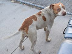 """***SUPER URGENT!!! 8/7/15 Brooklyn Center NYC ACC """" SPAIN"""" My Animal ID # is A1036197. I am a male white and brown american staff. The shelter thinks I am about 5 YEARS old. I came in the shelter as a STRAY on 05/13/2015 from NY 11207, owner surrender reason stated was STRAY. MOST RECENT MEDICAL INFORMATION AND WEIGHT 05/21/2015 Exam Type RE-EXAM – Medical Rating is 3 C – MAJOR CONDITIONS , Behavior Rating is NONE, Weight 62.0 LBS."""