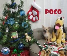 Poco - Chihuahua / Mixed (long coat) Dog For Adoption