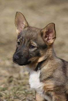 Swedish Vallhund Puppy, looks like a little wolf corgi :-)