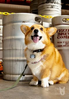 Corgi Day at Fezziwig's Brewing in Carlsbad, CA. Ohhhhhh the fuzzy cuteness and delicious beer! Dachshund Puppies, Corgi Dog, Cute Puppies, Pet Dogs, Dog Cat, Doggies, Dapple Dachshund, Wiener Dogs, Chihuahua Dogs