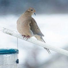 Mourning Doves always appear so gentle. #kkgroupies #pin #nature #ohio #myoh #ohphotography #winter #winterinohio #birdsofinstagram #birdsofafeather #mourningdove #mogadore #mogadoreohio #simplejoys #simplepleasures #outmywindow #roamohio #outmydoor