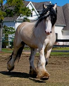 Draft horses -Taskin is a Buttermilk Buckskin Gypsy Vanner stallion.