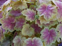 Coral Bells, Alumroot, Coralbells, Alum Root 'Tiramisu' (Heuchera)