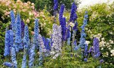 Rittersporn – blaue Pracht der Gärten