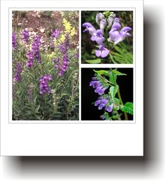 Plante medicinale – GURA-LUPULUI Plant