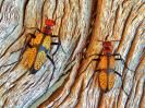 Picture of Iron Cross blister beetles in Saguaro National Park, Arizona