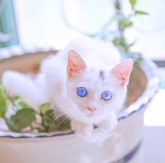 cute cute cute ,-)))))))))) #cat white blue eyes fluffy beautiful