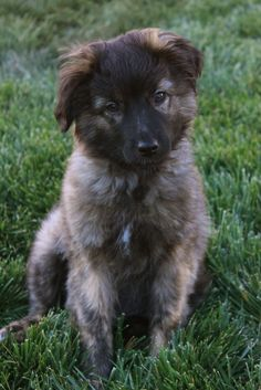 13 week old Pyrenean Shepherd Puppy Pictures, Cute Pictures, Baby Animals, Cute Animals, Wolf, Tu Me Manques, Dog List, Purebred Dogs, Little Puppies