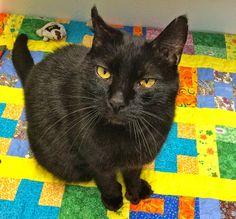 Meet Cracker Jack: A Whopper of a Cat - Willamette Humane Society