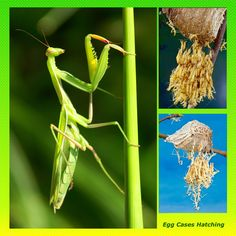Chinese Mantis Ootheca Kit - Guaranteed To Hatch!