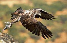 E115 Bonelli's Eagle