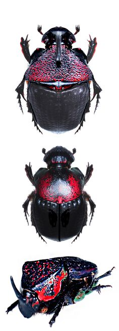 Phanaeus meleagris : male ( top and bottom )  female ( middle )