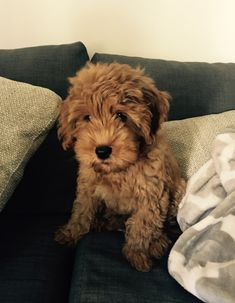 Harrison the F1B Mini Goldendoodle