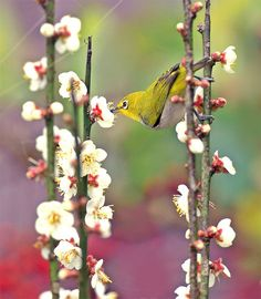Japanese White Eye go crazy with joy when drinking the blossoms nectar. Exotic Birds, Colorful Birds, Pretty Birds, Beautiful Birds, Rainforest Animals, White Eyes, Love Pictures, Love Flowers, Bird Feathers
