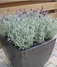 lavender with silver foliage | Items for my grandmothers garden ...