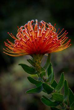 Leucospermum cordifolium by PerttiS. Unusual Flowers, Rare Flowers, Beautiful Flowers, Protea Art, Protea Flower, Garden Shrubs, Garden Plants, Tropical Flowers, Tropical Plants