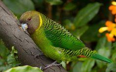 5Perruche-de-Madarasz—Psittacella-madaraszi—Madarasz_s-Tiger-Parrot