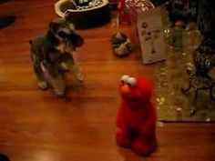 Dog meets Elmo   Elmo is well-loved by kids around the world, but this dog isn't too happy to meet him!   Read more: http://www.care2.com/causes/daily-cute-dog-meets-elmo.html#ixzz2eKyamyPk