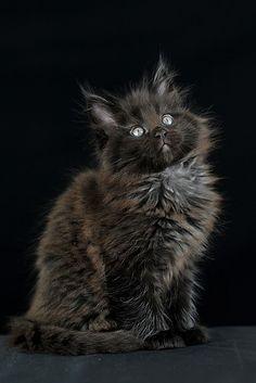 Котенок мейн-кун. Фото