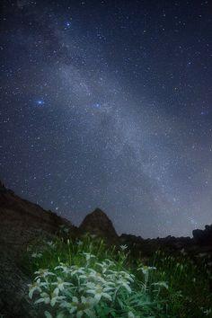 Edelweiss of Milky Way, Mount Kisokoma, Nagano Japan